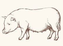 Pig. Vector drawing Royalty Free Stock Images