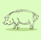 Pig Vector Illustration. Hand drawn Stock Photos