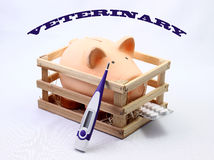 Pig veterinary Royalty Free Stock Image