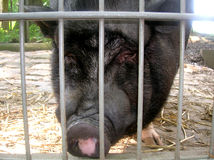 Pig. Vietnamese pig is in the aviary Royalty Free Stock Photos