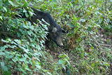 Pig in vietnamese jungle. Pig in jungle of North Vietnam royalty free stock image
