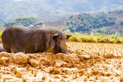 Pig. Vietnamese Pig in the mud royalty free stock photography
