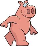 Pig Walking Stock Photos