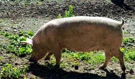 Pig walking on muddy ground. Female pig walking and sniffing muddy ground Royalty Free Stock Images