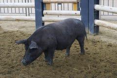 Pig walking, portrait, profile. chinese horoscope animal. symbol stock image