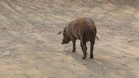 Pig walking trough village stock video footage