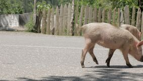 Pig walks on the road, Georgia. Pig walks on the road - Georgia stock footage