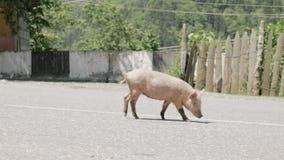 Pig walks on the road, Georgia. Pig walks on the road - Georgia stock video footage