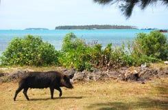 Pig walks at sea coast Royalty Free Stock Photography