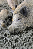 Pig wallowing in mud Stock Photo