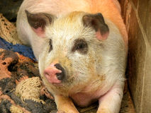 Pig warmer. A close-up view of a young pig warming itself under a red light in a pig sty Stock Photos