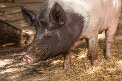 Pig watchin Stock Images