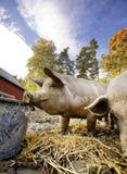 Pig at Water Bowl Stock Image