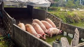 Pig water Stock Photo