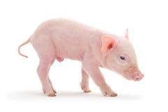 Pig on white Royalty Free Stock Image