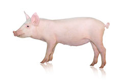 Pig on white Royalty Free Stock Photos