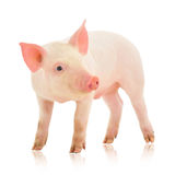 Pig on white. Pig who is represented on a white background Stock Photo