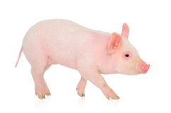 Pig on white. Pig who is represented on a white background Royalty Free Stock Images