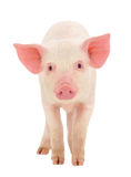 Pig on white. Pig who is represented on a white background Royalty Free Stock Photography