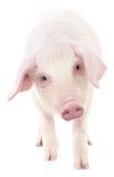 Pig on white Stock Image
