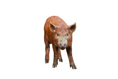 Pig on white Stock Photography