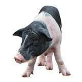 Pig in white background Stock Images