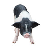 Pig in white background 2 Royalty Free Stock Photo
