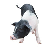 Pig in white background 3 Stock Image