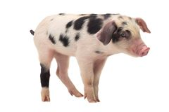 Pig on a white background. In studio shot Stock Photography