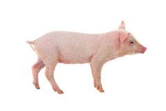 Pig Royalty Free Stock Photo