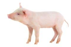 Pig. On a white background. studio Royalty Free Stock Photo