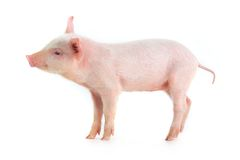 Pig Royalty Free Stock Photos
