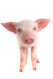 Pig. On a white background. studio Stock Photography