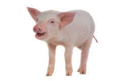 Pig Stock Photography