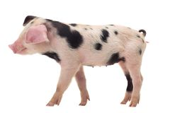 Pig on a white background. In studio shot Royalty Free Stock Photo