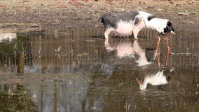 Pig and white stork stock footage