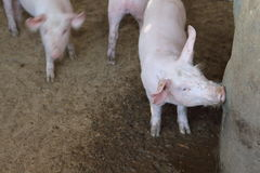 Pig white water from a faucet on a farm. Stock Photos