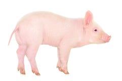 Pig on white Stock Photos