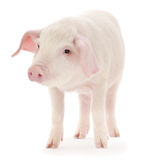 Pig on white Stock Image