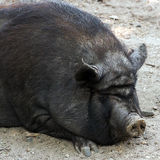 Pig wild Royalty Free Stock Photos