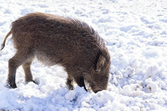 Pig wild boar looking for food in snow Stock Images