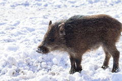 Pig wild boar looking for food in snow Royalty Free Stock Photos