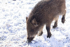 Pig wild boar looking for food in snow Royalty Free Stock Images