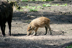 Pig of a wild boar Stock Photos
