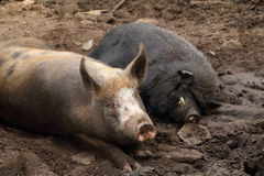 Pig and wild boar resting Royalty Free Stock Photo