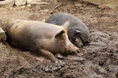 Pig and wild boar resting Stock Photo