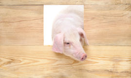 Pig in wooden box. Royalty Free Stock Photography