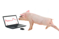 Pig works Stock Photography