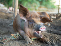 Pig yawning Royalty Free Stock Photography