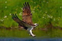 Pigargo del vuelo con los pescados Escena de la acción con el pigargo en el hábitat del agua de la naturaleza Cazador con los pes Foto de archivo libre de regalías
